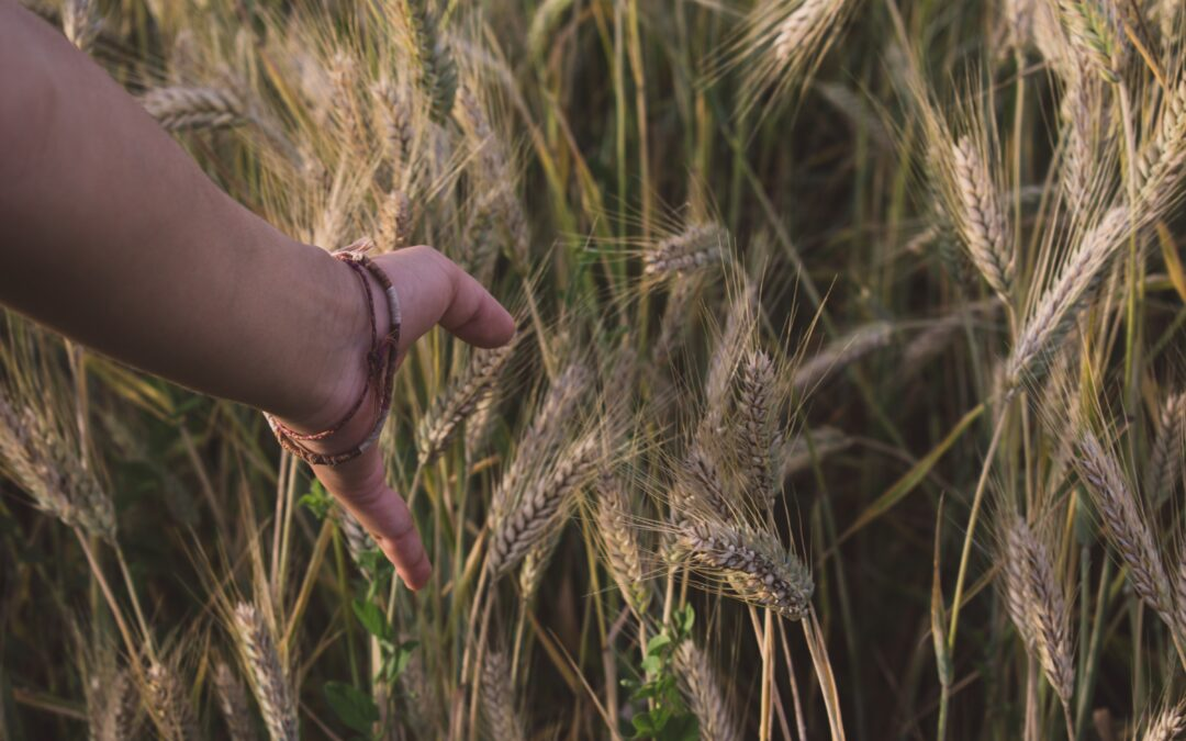 wheat stalks with hand